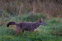 AttentionGetter (jmishefske) Tags: greenfield parkway nikon coyote mammal d500 wisconsin wild rootriver 2018 september animal
