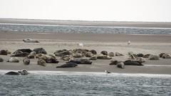 Zeehondjes Terschelling (noajip) Tags: seals dieren zeehonden natuur nature robben zee seal huilers strand meeuw stranded gestrand