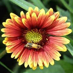 Circle of Life (clarkcg photography) Tags: flower beetle insect orange yellow fauna sundayfauna 7dwf sunshinesunday sunburst