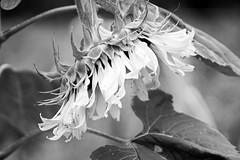 untitled (larrynunziato) Tags: sunflower bwphotography pentaxf25135mm