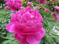 Blooms return8 (annesstuff) Tags: annesstuff shrubroses yellowrose rose flower garden peonies peony