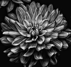 The dahlia!😊 (LeanneHall3 :-)) Tags: blackandwhite mono dahlia petals closeup closeupphotography macro macrophotography macroflowerlovers flower flowersarefabulous flowerarebeautiful flowerflowerflower canon 1300d