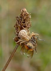 Crab spider (stourton) Tags: crab spider fly garden dorset uk