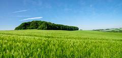"""Eckbusch"" (st-bruehne) Tags: landscape landschaft feld field gerste blue sky blauer himmel"