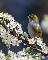 Tauhou, the silver–eye (marc_odonoghue) Tags: bird hawkesbay nature nz newzealand silvereye