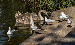 Lakeside activity at Capstone Park (philbarnes4) Tags: wan cygnet lake water capstone capstonepark medway kent england philbarnes nikond5500 wildlife seagulls