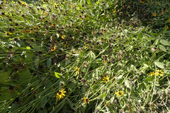Waning Nature (Modkuse) Tags: blackeyedsusan nature natural flower flowers fujifilm fujifilmxt2 xt2 fujinon fujinonxf1024mmf4rois xf1024mmf4rois garden landscape astia fujifilmxt2astiasimulation