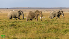 20180806IMG_7613.jpg (jmcenern) Tags: africa elephant amboselinationalpark kenya
