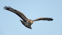 Common Buzzard - September evening (Tony McLean) Tags: ©2018tonymclean tophilllow eastyorkshire naturephotography wildlifephotography nikond4 nikon500f4gvr commonbuzzard