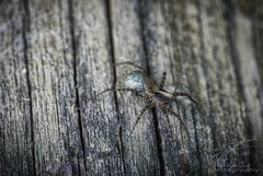 I see you! (Jan Fenkhuber Photography) Tags: animal insect macro blue spider woodanimalbluecolorgreeninsectmacroplantspidertreewood