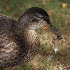 2018_08_0074 (petermit2) Tags: mallard duck slipperystones howden derwent peakdistrict derbyshire