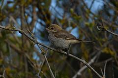 Shrike It Lucky. (stonefaction) Tags: woodchat shrike birds nature wildlife barns ness lothian east scotland
