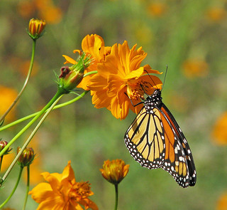 celebrating Monarchs and first day of Fall