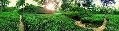 Tea Garden, Sylhet (_Jisan_) Tags: tea garden khadimnagar sylhet bangladesh green beautiful