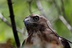 _D2_7694.jpg (rdelonga) Tags: buteojamaicensis redtailedhawk