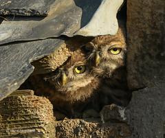 Two owlets (waynehavenhand1) Tags: wild wildlife nature naturesfinest littleowl little birds owl owlet