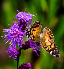 Down On It (Portraying Life, LLC) Tags: dbg6 da3004 hd14tc k1mkii michigan pentax ricoh unitedstates butterfly closecrop handheld nativelighting leonardpreserve meadow dryprairie