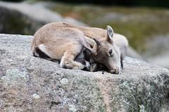 so tired (Hugo von Schreck) Tags: hugovonschreck alpensteinbock capraibex fantasticnature canoneos5dsr greatphotographers tamronsp150600mmf563divcusda011