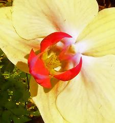 Cream Orchid Center (Cornishcarolin. Stupid busy!! xx) Tags: cornwall httpswwwedenprojectcom nature flowers plants orchids