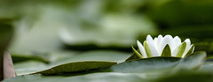 Waterlily (Wouter de Bruijn) Tags: fujifilm xt2 fujinonxf90mmf2rlmwr waterlily lily water floating leaves leaf green flower flowers nature bokeh depthoffield outdoor white westhove mantelingen oostkapelle veere walcheren zeeland nederland netherlands holland dutch
