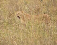 Yaaawn (Nagarjun) Tags: lioness nairobinationalpark kenya eastafrica wildlife carnivore bigcat bigfive female safari gamedrive