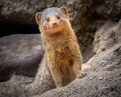 Well, hi there! (helenehoffman) Tags: helogaleparvula sandiegozoo dwarfmongoose commondwarfmongoose conservationstatusleastconcern carnivore mammal animal