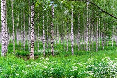 Koivikko. (Birch trees) (nousku) Tags: finland suomi sysmä mmp tamron flowerstrees
