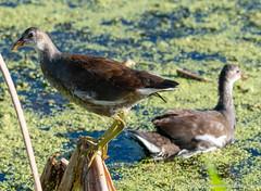 DSC_9399 (dwhart24) Tags: orlando wetlands park nikon d500 david hart nature animals 200500 tc 14