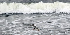J78A0920 (M0JRA) Tags: birds flight flying wildlife rats walks gardens parks fields trees lakes ponds ducks swans rspb