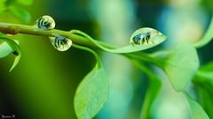 Nature - 5866 (ΨᗩSᗰIᘉᗴ HᗴᘉS +22 000 000 thx) Tags: nature green drop droplet macro vert feuille leaf bokeh hensyasmine namur belgium europa aaa namuroise look photo friends be wow yasminehens interest intersting eu fr greatphotographers lanamuroise