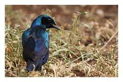 2018 02 03_Burchell's Starling-1 (Jonnersace) Tags: africa africanbirds sataracamp bird burchellsstarling glossy grootglansspreeu lamprotornisaustralis starling krugernationalpark southafrica canon canon7dii canon100400ii blue black catchlight
