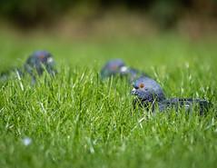 Trio of pigeons resting (davebennettwildlifephotography) Tags: birds pigeons nature wildlife nikon d500 300f4
