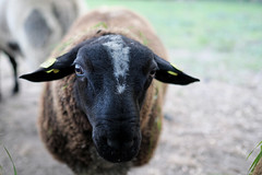Fuji X-T20 with Fuji XF 23mm f1.4 (winz photographie) Tags: fuji xt20 fujifilm xf23mm f14 sheep schaf