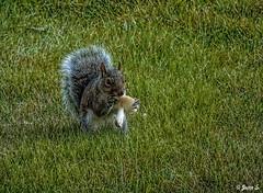 Lunch (Jean S..) Tags: fur green grass food squirrel animal mushroom