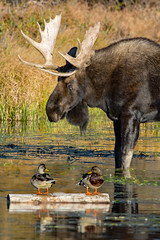 Duck, Duck, Moose (RkyMtnGrl) Tags: lake colorado rmnp spraguelake september 2018 nikon tamron150600mm moose bull mallards ducks