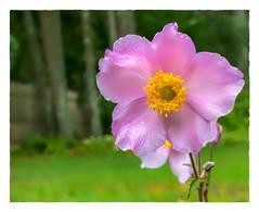 Anemone hupehensis var. japonica (Timothy Valentine) Tags: windflower pink 0918 2018 home eastbridgewater massachusetts unitedstates us