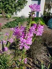 Digitalis sp. Scrophulariaceae - foxglove 1 (SierraSunrise) Tags: switzerland europe wilderswil plants flowers pink foxglove digitalis scrophulariaceae
