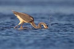 Try-Colored Strike... (DTT67) Tags: hunting tricoloredheron heron 2xtciii 500mm 1dxmkii canon florida bird wader wildife nature