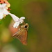 Small branded swift butterfly (Pelopidas mathias, チャバネセセリ)