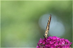 Monarch on Mauve (D J England) Tags: djenglandphotography dje goderich monarch binghampark djengland butterfly canonef100400f4556lisiiusm migration douglasjengland ontario southernontario insect monarchbutterfly canoneos7dmkii butterflypark