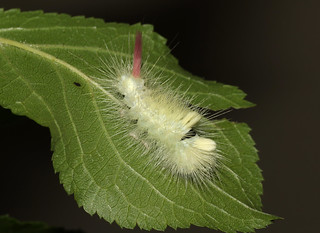 Pale Tussock - Calliteara pudibunda larva