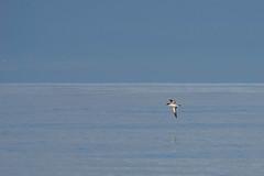 Pink-footed Shearwater on Glass (iansgledhill) Tags: rx10iv pelagic sea bird glass glassy humboldt ocean