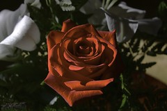 rose is a rose (zawaski) Tags: alberta beauty canada canmore naturallight noflash zawaski©2018 rockymountains sunflower rose calgary flowers love ambientlight lily canonef2035mmf3545usm
