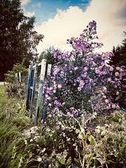 #wayhome #kotimatkalla #flowerpower #kukkaenergiaa #happy #ihanaelämäihanaelämä #beautifulllife #eyecandy #helsinki #finland 12.9.2018 (peltola.kristiina) Tags: wayhome kotimatkalla flowerpower kukkaenergiaa happy ihanaelämä beautifulllife eyecandy helsinki finland
