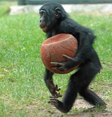 Bonobo Berlin Zoo JN6A6583 (j.a.kok) Tags: bonobo animal africa afrika aap ape mammal monkey mensaap primate primaat zoogdier dier berlijn panpaniscus berlijnzoo berlinzoo