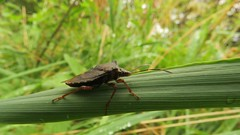 Forest Bug, 12092018, 01 f (alanblunden) Tags: riverwitham alongtheriver wildlife grantham wild queenelizabethparkhermajestyqueenelizabeththequeenmother plant insect wildinsect granthamsriversidewalkcycleway summer park bug forestbug september river uk summer2018 green september2018