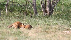 Playing kits (Seventh day photography.ca) Tags: redfox fox kit young animal wildanimal wildlife predator ontario canada