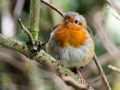 Robin in Rufford Park (Andy Sut) Tags: nottinghamshire robin bird ruffordpark nature