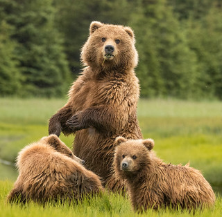 2018 Lake Clark National Park- Bears Standing Up (14)