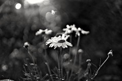 Chamomilla (Stefano Rugolo) Tags: stefanorugolo pentax k5 pentaxk5 kepcorautowideanglemc28mm128 ricohimaging monochrome matricariachamomilla chamomilla flower abstract backlight lensflares flares depthoffield bokeh